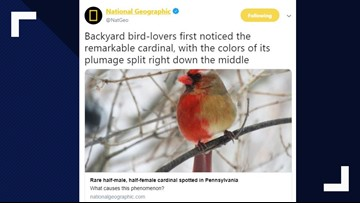 Unique half-male, half-female cardinal spotted flying around