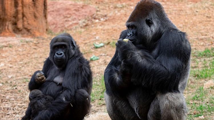 Zoo Atlanta launching gorilla cam this weekend to mark father/son birthday celebration