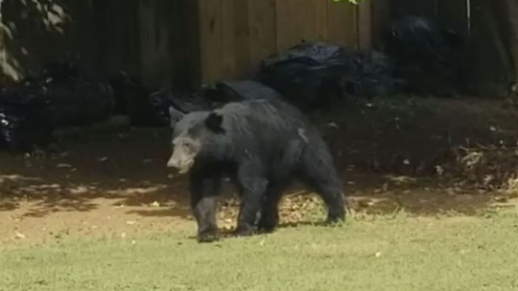 Bear evading police in search for food through Duluth yards