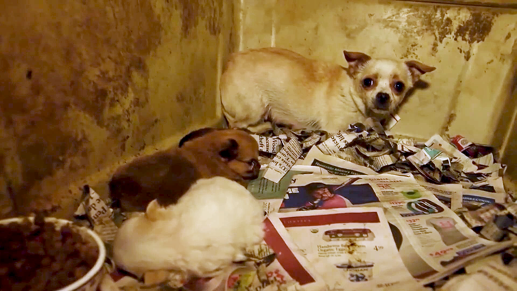 She gave birth to 150 puppies then discarded. How Victoria's story could stop puppy mills