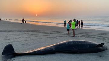 Photos, video show response to mass beaching that left 3 pilot whales dead