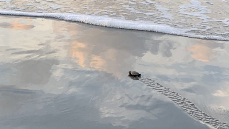 The search for surviving turtles after Hurricane Dorian was bleak until this happened