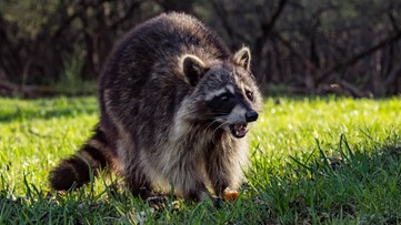 Henry County issues rabies alert after dog comes in contact with infected raccoon