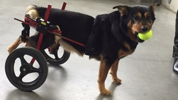 Special needs dog returns to Gwinnett County Jail after several adoption attempts